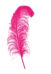 Big pink feather on white background